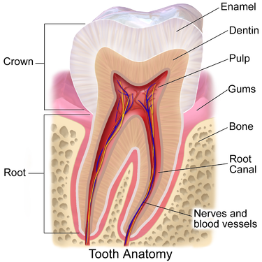 Tooth Pulp Anatomy